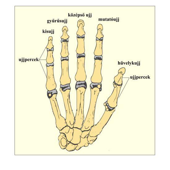 fájdalmas ujjak ízületei)