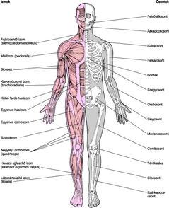 a térdkárosodás tünetei arkoxia közös gyógyszer