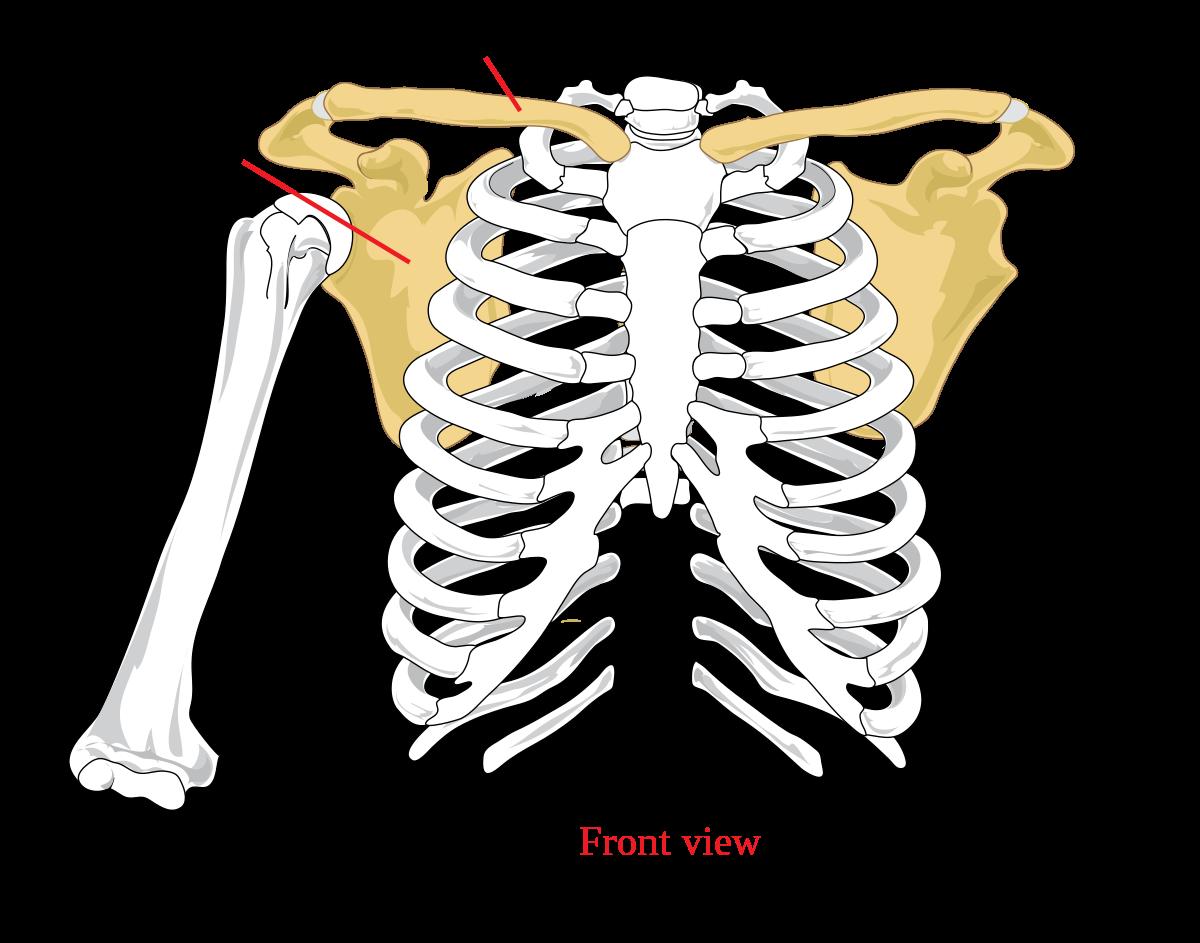 clavicularis acromialis ízületi ízületi kezelés térdkészítmények osteoarthritis